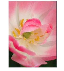 La Vie de la Rose Awakened Being Flower Essence