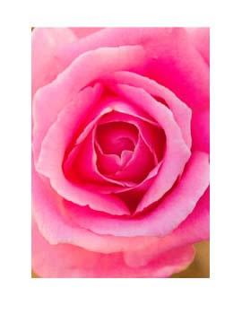 La Vie de la Rose Captivation Flower Essence