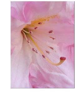 La Vie de la Rose Contact Flower Essence
