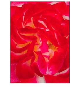 La Vie de la Rose Enlightened Patterns Flower Essence