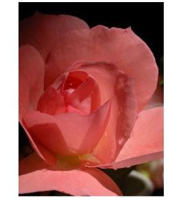 La Vie de la Rose Exuberance Flower Essence
