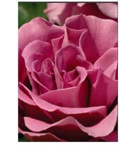 La Vie de la Rose Generosity Flower Essence