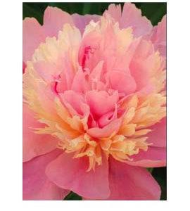 La Vie de la Rose Gift of God Flower Essence