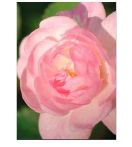 La Vie de la Rose Magical Child Flower Essence
