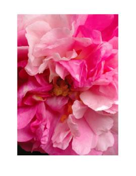La Vie de la Rose Path of Beauty Flower Essence